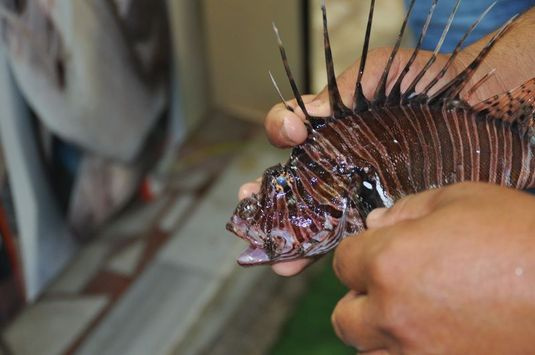 Ege ve Akdeniz'de aslan balığı istilası 'Canlıları yok ediyor' - Sayfa 1
