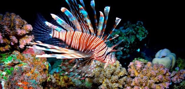 Ege ve Akdeniz'de aslan balığı istilası 'Canlıları yok ediyor' - Sayfa 2