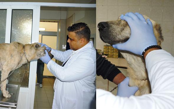 Türkiye'de bir ilk! İnsanlara uygulanıyordu sokak köpeğine takıldı