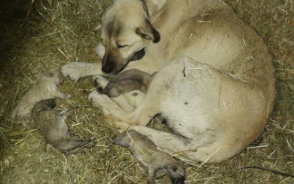 Ahıra girdiğinde gördüğü manzara şoke etti! Yavru kangalların feci sonu