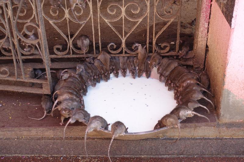 Bu kentte farelere tapıyorlar yemeklerini birlikte yiyorlar - Sayfa 1