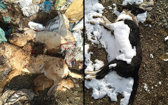 Isparta'da katliam: 30'dan fazla ölü köpek bulundu!