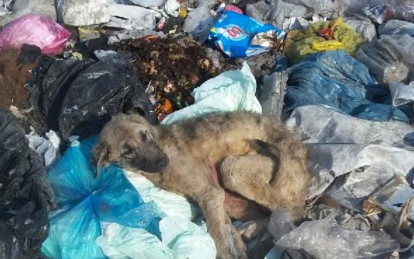Çöplükte telef olan sokak hayvanları hakkında soruşturma
