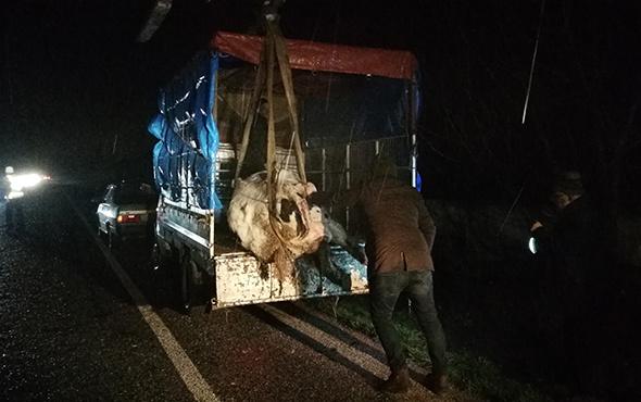 300 kiloluk inek kamyonetten kara yoluna savruldu!