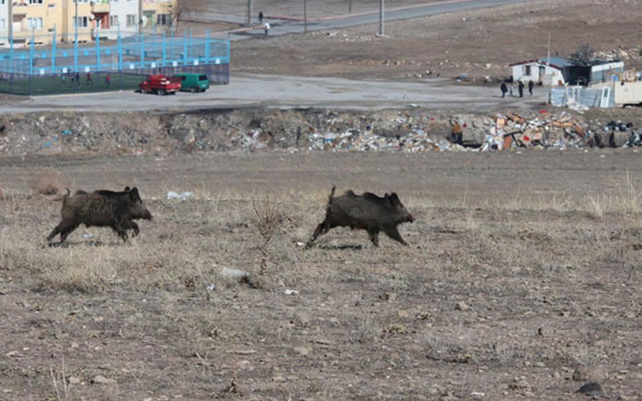 Ordu ve Kayseri'de görüldüler! Şehir merkezine kadar iniyorlar
