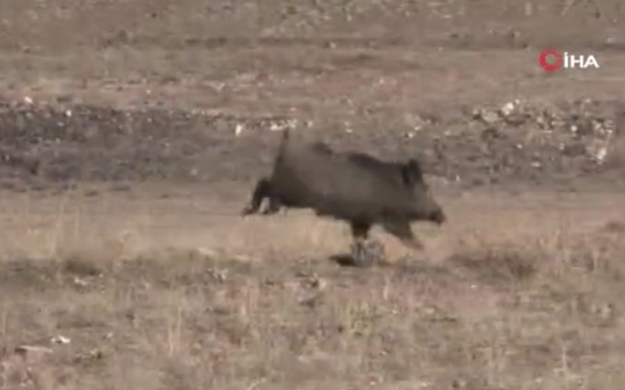 Kayseri'de aç kalan domuzlar şehre indi