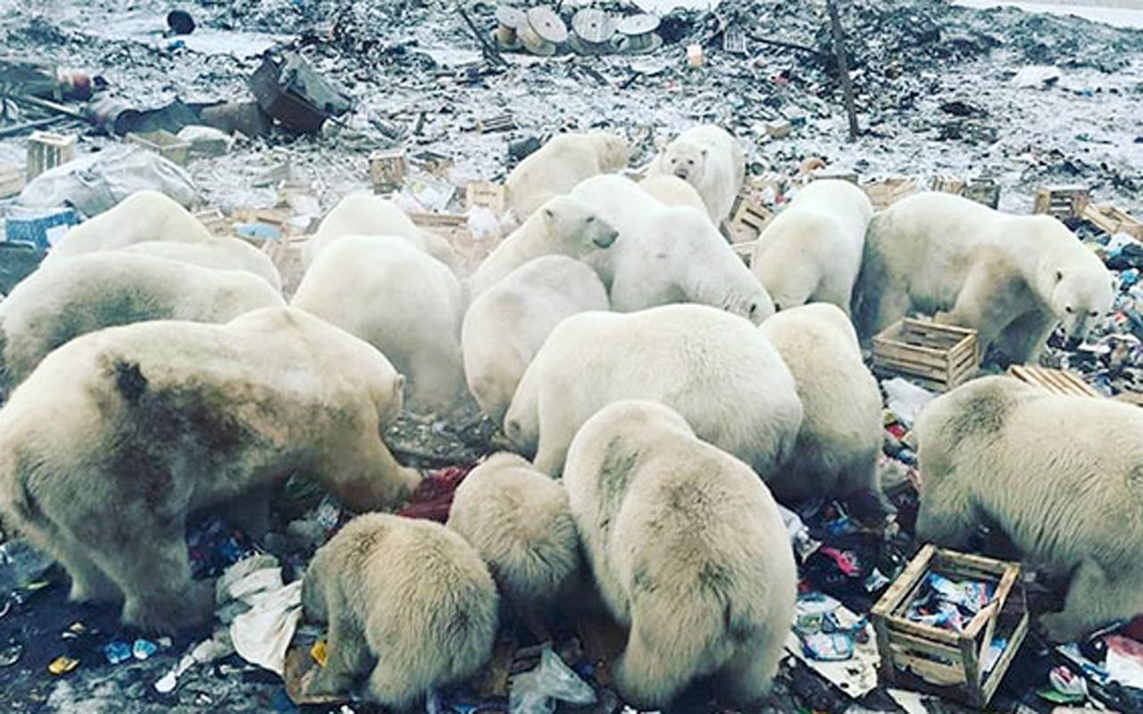 Kutup ayıları şehre indi acil durum ilan edildi