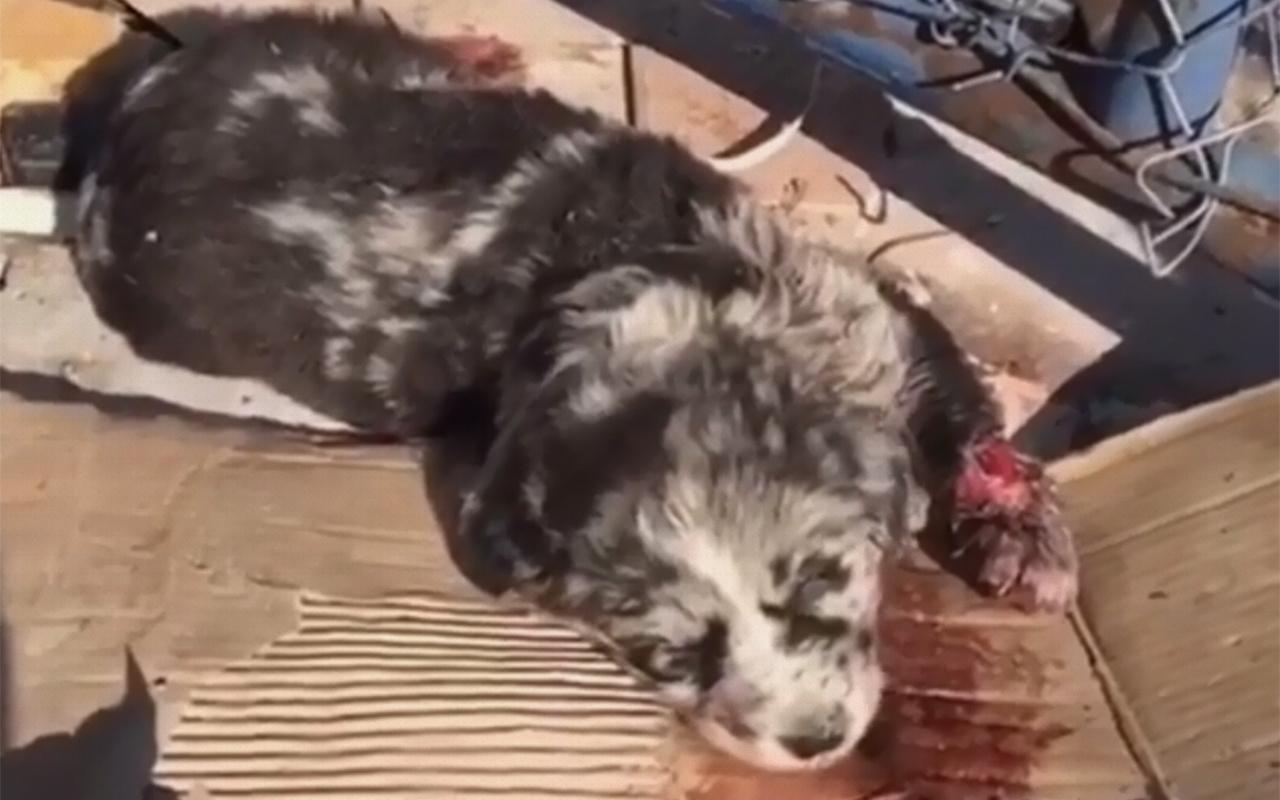 Ankara'da vahşet: Yavru köpekleri dozerle ezdi!