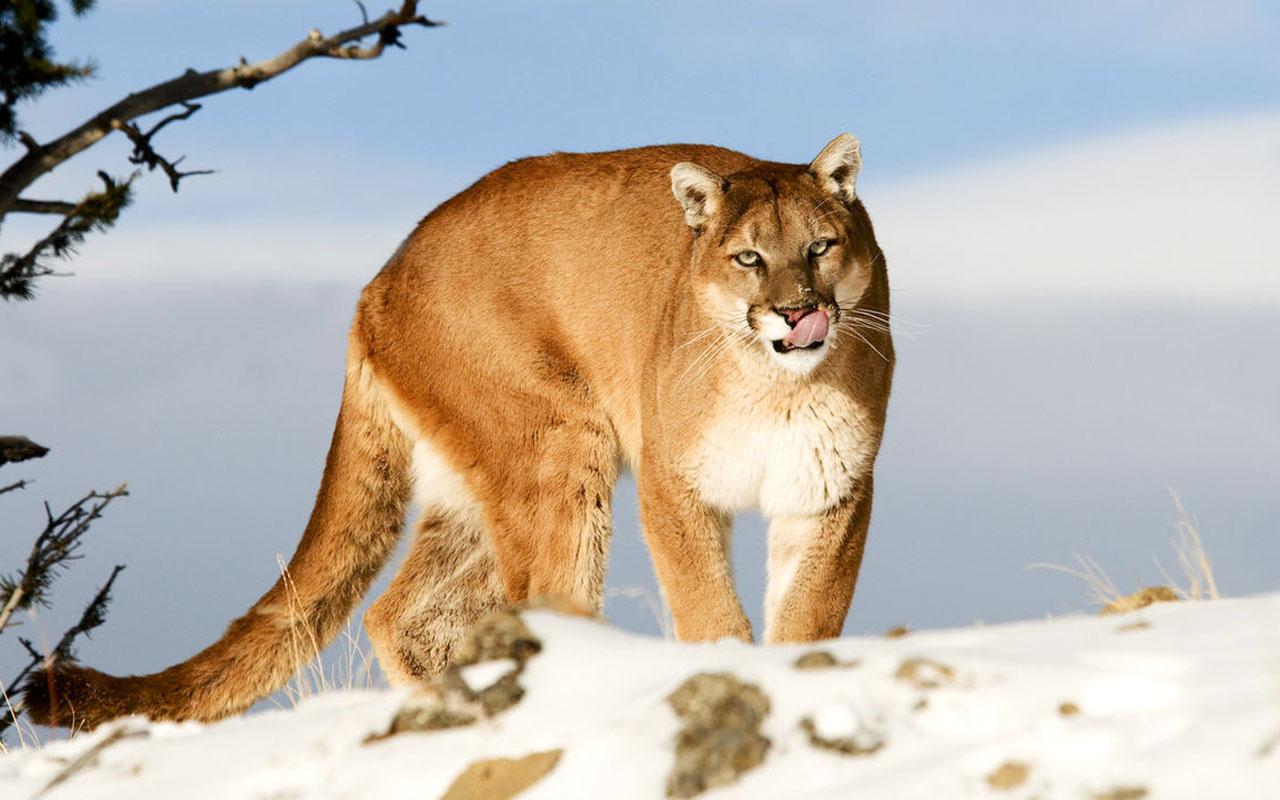 Saldırısına uğradığı dağ aslanını elleriyle boğarak öldürdü
