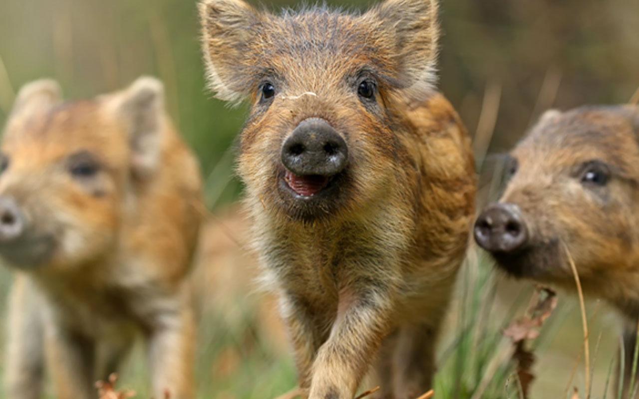 Rusya'da vahşet! 56 yaşındaki kadın beslediği domuzlara yem oldu