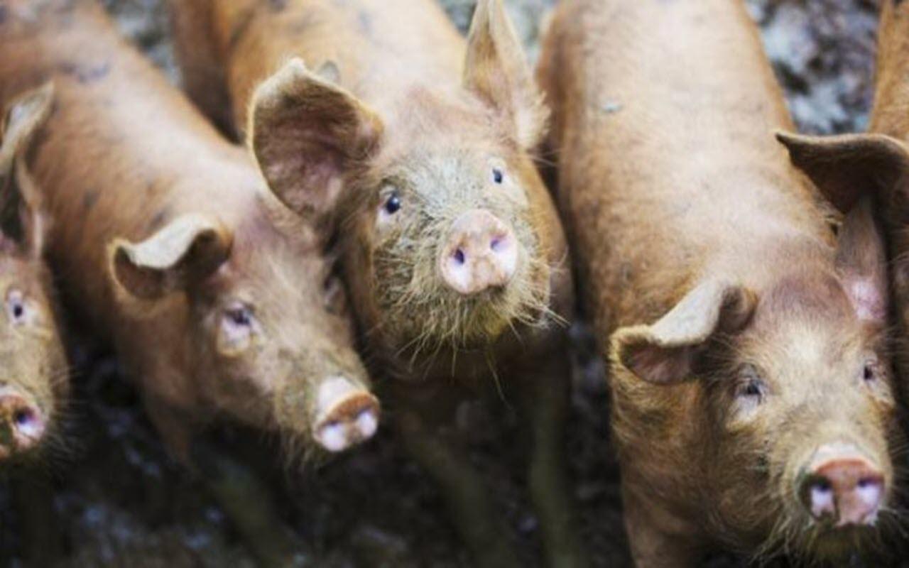 56 yaşındaki kadını 'beslediği domuzlar yedi'