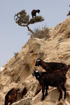 Keçi ağacı gördünüz mü?
