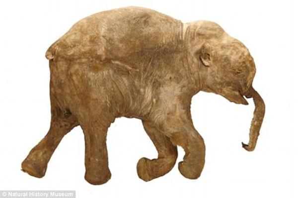 42 bin yaşındaki mamut fosili