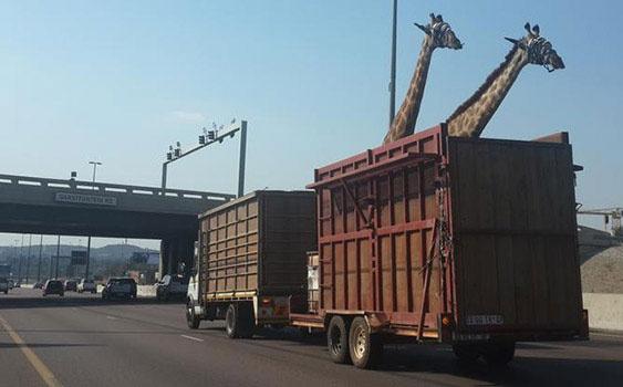 İşte günün en komik ve en ilginç fotoğrafları -1-Güney Afrika'nın Johannesburg şehrinin en işlek otoyolu N1'da kamyonla taşınan zürafa, kafasını köprüye vurarak öldü.   Hayvanseverleri ayağa kaldıran olay ülkede büyük tartışmalara neden oldu. Kamyon şoförü köprünün alçak olduğunu iddia ederek kendini savunmaya çalıştı.   Nadir rastlanan olaydan sonra hayvanseverler derneği SPCA yetkilisi Rick Allen yaptığı açıklamada,