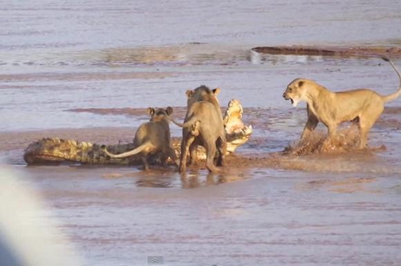 Üç aslan ile bir timsah kapıştı