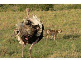 Deve kuşunun öfkesi felaketi oldu