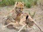 Yeni doğan antilopu çitalar böyle yedi!