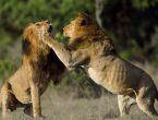 Aslanların çiftleşme savaşı kanlı bitti