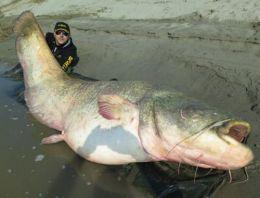 Oltayla boyu 2,7 metrelik balık yakaladı