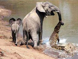 Annesini timsahtan kurtaran yavru fil