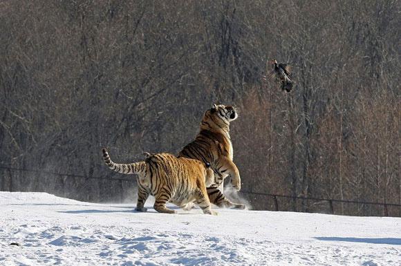 Kaplanların avlarıyla mücadelesi
