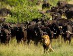 Ormanlar kralı aslan bizonlara yem oldu