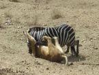 Aslan ve zebranın mücadelesi dehşete düşürdü