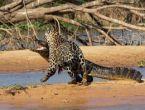 Jaguar ve timsahın inanılmaz mücadelesi