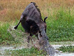 Timsah ve su aygırının inanılmaz mücadelesi