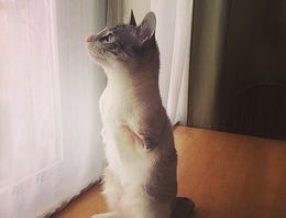 İnternetin yeni fenomeni iki ayaklı kedi