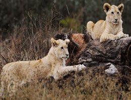 Genç kadın dişi aslanın saldırısına uğradı