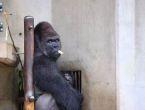 Dünyanın en yakışıklı gorili