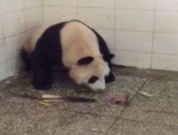Pandanın doğum anı görüntülendi