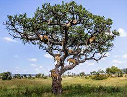 Kaçışı ağaca çıkmakta bulan aslanlar