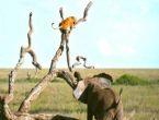 Filden kaçan aslan ağaca tırmandı