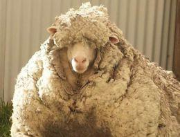 'Kaçak koyun' dünya rekoru kırdı