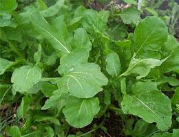 Cinsel gücü artıran bitkiler