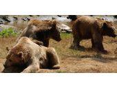 Küresel ısınma ayıları da vurmuş!