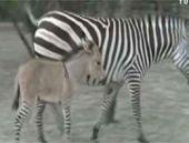 Üstü eşek, altı zebra! En ilginç melez