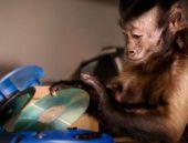 Maymunlar engellilere yardım için eğitiliyor