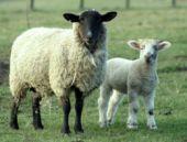 Sahipsiz köpekler 50 koyunu telef etti