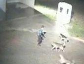 Silivri'deki katil köpekler kamerada!