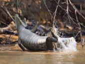 Güneşlenen timsaha jaguardan kanlı pusu!