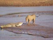Aslanların timsahla müthiş kapışması!