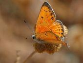 Hatay'da 6 yeni kelebek türü