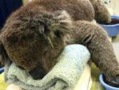 Avustralya'da yangından kurtarılan koalaya özel tedavi