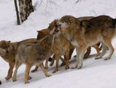 Bayburt'ta kurt sürüsü şehre indi