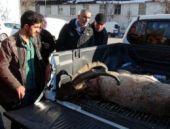 Dağ keçisi öldüren avcılara 15 bin lira ceza!