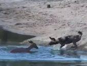 Köpekler impalayı böyle avladı