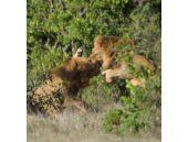 Aslanların çiftleşme savaşı kanlı bitti!